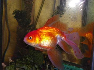 OrangeGoldfish