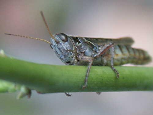 grasshopper on a rose stem